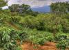 La piantagione Jamaicana di caffè blue mountain